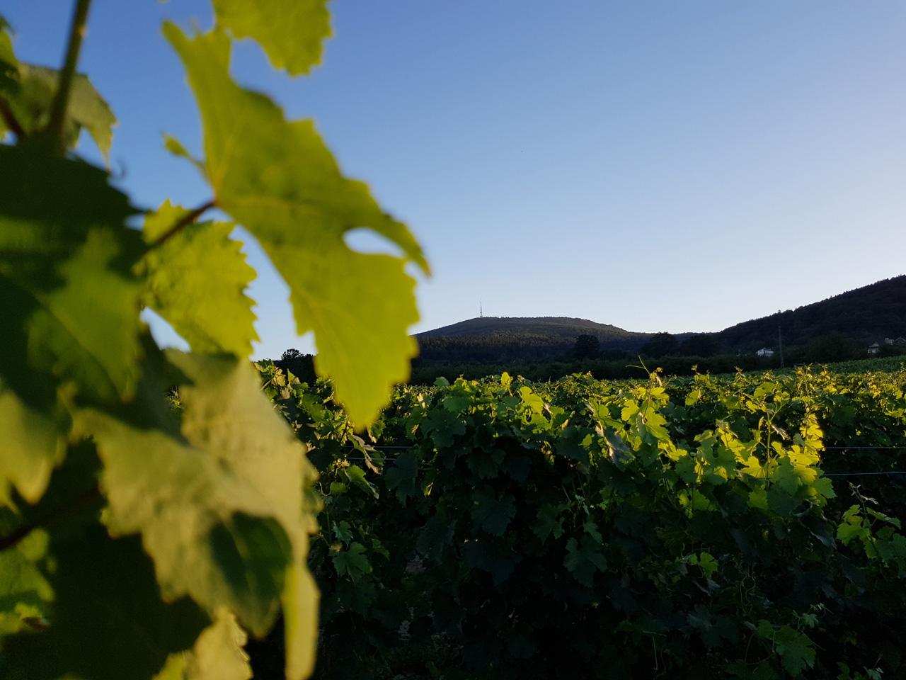 Wino spod Ślęży 2
