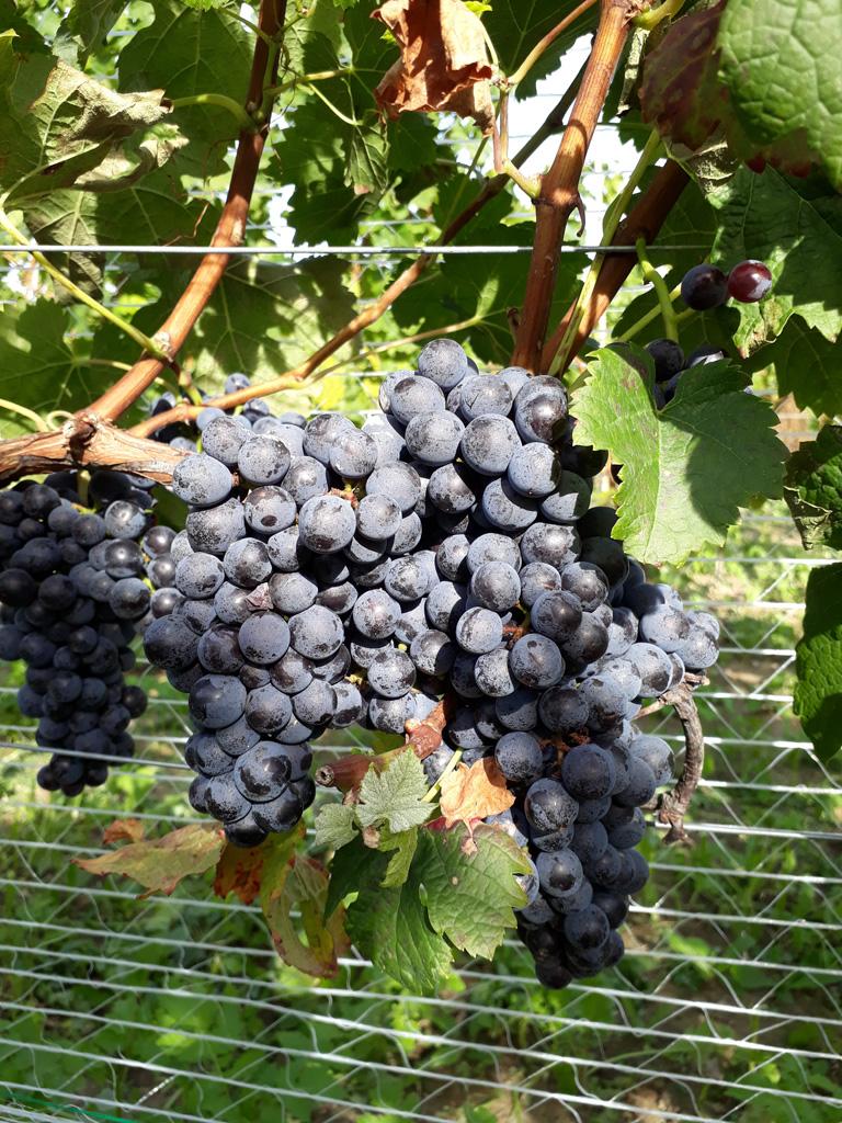 Wino spod Ślęży 3